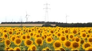 Stock Video Footage of Sunflower field with electricity in the background