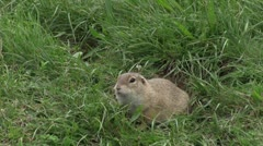 Ground squirrel 04 Stock Footage