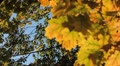 Beautiful Colorful Autumn Foliage, Changing Season, Forest, Trees HD Footage