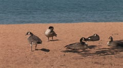 WorldClips-Nevada Beach Geese-zoom Stock Footage