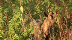Young goat eating leaves Stock Footage