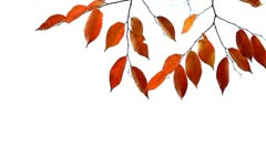 Beautiful colorful Autumn leaves swaying against bright background Stock Footage