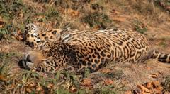 Jaguar (Panthera Onca), Panther in Wilderness, Nature, Close-up Stock Footage