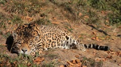 Jaguar (Panthera Onca), Panther in Wilderness, Nature, Close-up Stock Footage