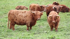 Highland Cattles Stock Footage