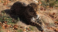 Jaguar (Panthera Onca), Panther in Wilderness, Nature, Close-up - stock footage