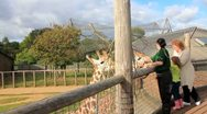 Stock Video Footage of Giraffes Eating Leaves at London Zoo