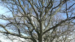 Bare Branches on a Tree Stock Footage