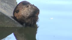 Two otter swimming Stock Footage