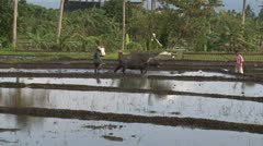 Water Buffalo Pulls Plough Through Rice Field Stock Footage