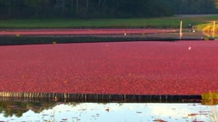 Stock Video Footage of Cranberry Collection; 1