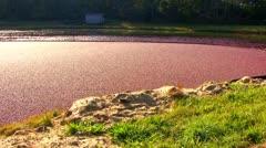 Knee Deep In Cranberries; Pan LR Stock Footage