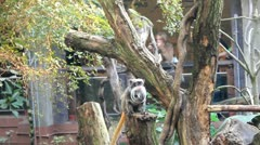 Funny looking Monkeys in a Zoo Stock Footage