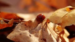 ladybird on an autumn leaf - stock footage