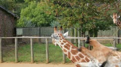 Giraffes Eating Leaves at London Zoo Stock Footage
