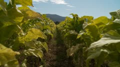 Stock Video Footage of Tobacco crops glidecam (more contrast)