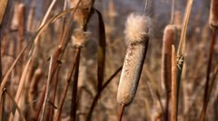 Reed Mace Autumn Stock Footage