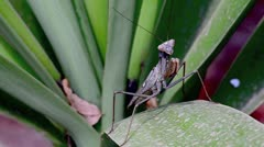 Praying Mantis Insect in Nature Stock Footage