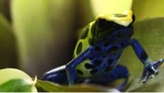 Dendrobates tinctorius dart frog Stock Footage