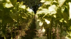 Tobacco crops (glow highlites, glidecam) Stock Footage