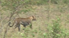 A leopard running away Stock Footage