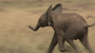 Stock Video Footage of baby elephant running