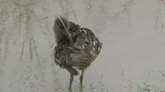 Beautiful bird grooming tail feathers Stock Footage