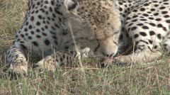 Cheetah cleaning the rear paws Stock Footage