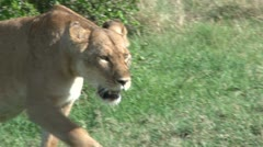 Close up of lioness walking towards the camera Stock Footage