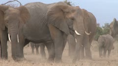 Elephants digging grass in a dry season Stock Footage