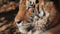 Orange Siberian Tiger (Panthera Tigris Altaica) Amur, Altaic, Ussuri Tiger Stock Footage