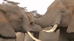 Elephants in a lovely embrace Stock Footage