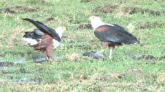 Fish eagle sharing a fish Stock Footage