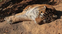 Orange Siberian Tiger (Panthera Tigris Altaica) Amur, Altaic, Ussuri Tiger - stock footage