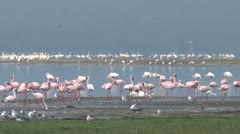 Flamingos in a lake Stock Footage