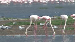Greater flamingos stirring water to feed Stock Footage