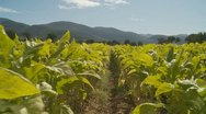 Stock Video Footage of Tobacco crops (glidecam slow motion)