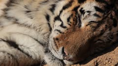 Stock Video Footage of Orange Siberian Tiger (Panthera Tigris Altaica) Amur, Altaic, Ussuri Tiger