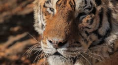 Orange Siberian Tiger (Panthera Tigris Altaica) Amur, Altaic, Ussuri Tiger - stock footage