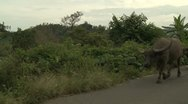 Stock Video Footage of Water Buffalo Walk Along Rural Road In Indonesia