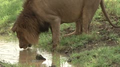 Lion drinking Stock Footage