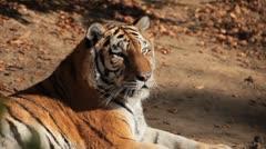 Stock Video Footage of Orange Siberian Tiger (Panthera Tigris Altaica) Amur, Altaic, Ussuri Tiger