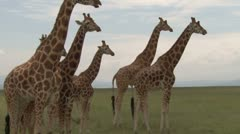 Many giraffes chewing cud Stock Footage