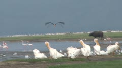 Marabou stork in flight 2 Stock Footage