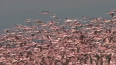 Mass of flamingos flying together Stock Footage