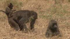 Mother baboon and baby on her back Stock Footage