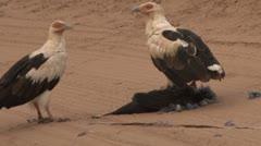 Palm nut vulture killing a guinea fowl Stock Footage