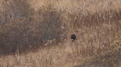 Black Bear Cub Bounding Across Field in Autumn slow Stock Footage