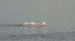 Pelicans fishing in a lake Stock Footage