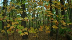 Fall foliage in the forest (LP-Voorhees-031) - stock footage